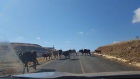 在路的母牛 免版税库存图片