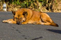 在路的泰国狗睡眠 免版税库存图片