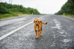在路的流浪狗 免版税库存照片