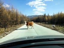 在路的牛 库存照片