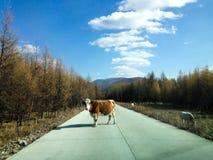 在路的牛 免版税图库摄影