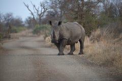 在路的犀牛 免版税库存照片