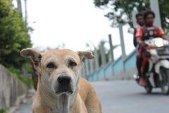 在路的狗在lipe海岛泰国 库存照片