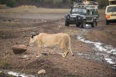 在路的狮子 免版税库存图片