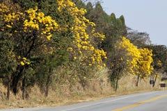 在路的用花装饰的黄色ipe树 图库摄影
