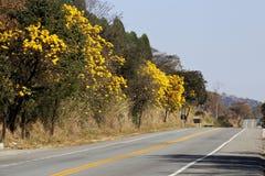 在路的用花装饰的黄色ipe树 免版税库存照片
