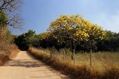 在路的用花装饰的黄色ipe树 免版税库存图片