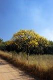 在路的用花装饰的黄色ipe树 库存图片