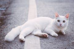 在路的白色猫 免版税库存图片
