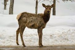 白被盯梢的鹿 免版税图库摄影