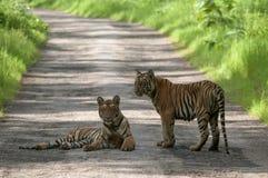 在路的虎犊在Tadoba,钱德拉普尔,马哈拉施特拉,印度 免版税图库摄影