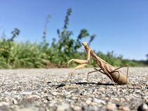 在路的螳螂 库存图片