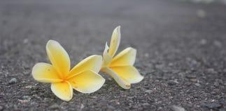 在路的赤素馨花花 库存图片