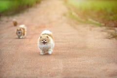在路的连续pomeranian狗 年轻健康愉快 免版税库存图片