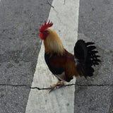 在路的雄鸡 免版税库存照片
