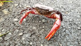 在路的领域螃蟹 免版税库存图片