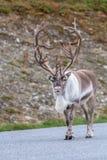 在路的驯鹿 免版税库存图片