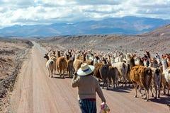 在路的骆马牧群 免版税库存图片
