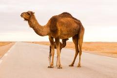 在路的骆驼 免版税库存图片