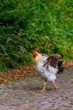 在路的黑白色母鸡 免版税库存图片