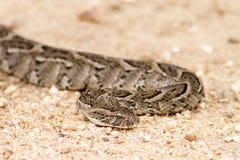 在路的鼓腹毒蛇蛇 库存照片