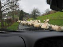在路的绵羊 图库摄影