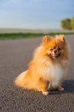 在路的Pomeranian 免版税库存照片