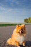 在路的Pomeranian 免版税库存图片