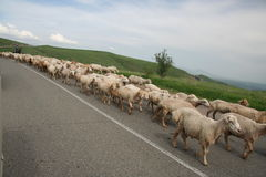 在路的Sheeps 库存照片