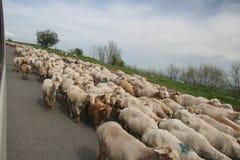 在路的Sheeps 免版税库存照片