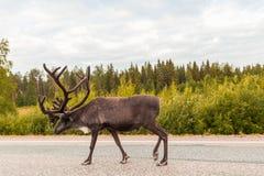 在路走的驯鹿 免版税库存图片