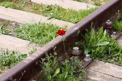 在路轨旁边的银莲花属开花 免版税库存照片