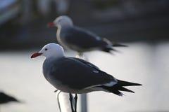 在路轨的海鸥 免版税库存照片