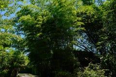 在路边小屋前的嫩绿的竹子在晴朗的夏天 免版税库存图片