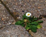 在路面的一朵雏菊 免版税库存图片