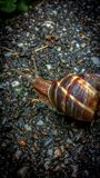 在路面的唯一蜗牛 免版税库存图片