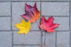 在路面的槭树叶子 免版税库存照片