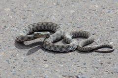 在路面的蛇 图库摄影
