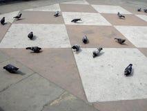在路面的鸽子 库存照片