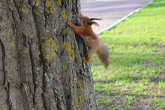 在跳跃的树的灰鼠 库存照片