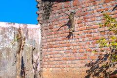 在跳跃的灰色猫从墙壁 库存照片