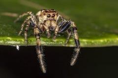 在跳跃的蜘蛛叶子极端关闭-宏观照片的跳跃的蜘蛛在叶子的 图库摄影
