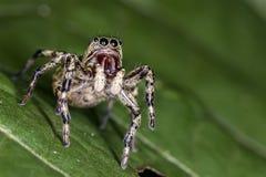 在跳跃的蜘蛛叶子极端关闭-宏观照片的跳跃的蜘蛛在叶子的 免版税库存图片
