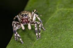 在跳跃的蜘蛛叶子极端关闭-宏观照片的跳跃的蜘蛛在叶子的 免版税库存照片