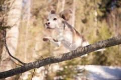 在跳远的小猎犬在分支 免版税库存图片