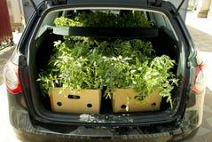 在车厢的蕃茄种子 库存图片