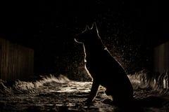 在车灯的狗剪影 图库摄影