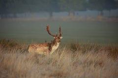 在车轮痕迹期间的一只小鹿雄鹿 库存图片