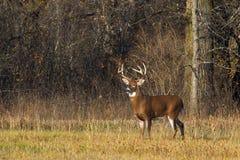 在车轮痕迹期间,一头白被盯梢的鹿在清早光顽抗 库存图片