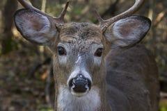 在车轮痕迹期间,一头白被盯梢的鹿在清早光顽抗 免版税库存照片